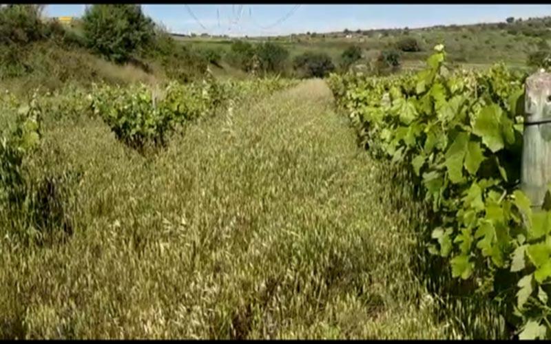 Campo de viñas. Desbrozadoras Belafer