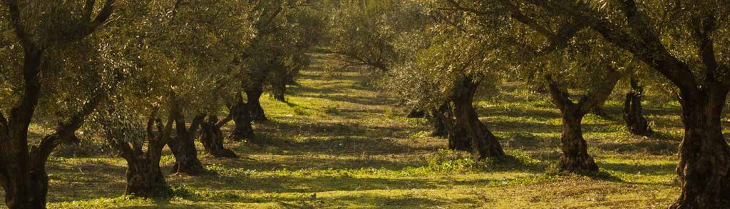 Campo de olivares