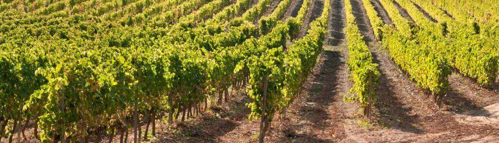 Campo de viña